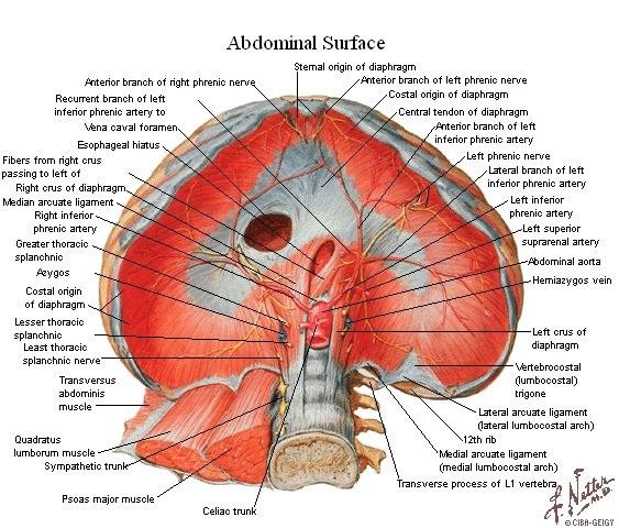 diafragma crural – GastroLab Blog Novedades