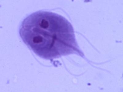 Giardia 4