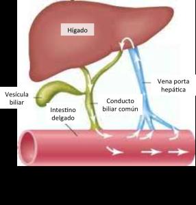 Recirculación enterohepática